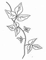 Ivy Poison Coloring Drawing Vine Plant Template Sketch Leaves Pages Tattoo Plants Drawings Sketches Leaf Border Clipart Templates Printable Edera sketch template