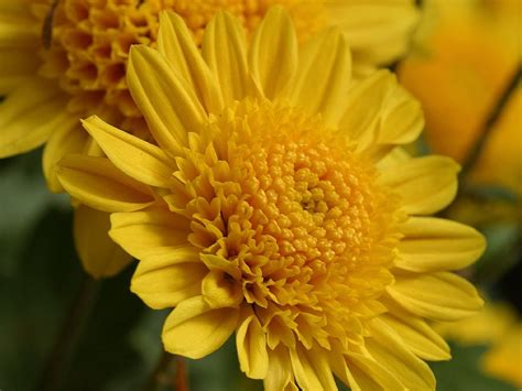 yellow mums dfw flowers providing flower and gift delivery to the dallas fort worth metroplex since 1971