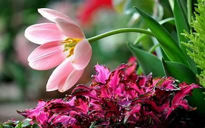Flower Desktop Flowers Wallpapers Backgrounds Rose Flores