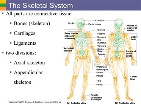 the skeletal system all parts are connective tissue bones skeleton ppt
