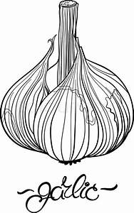 Garlic. Hand drawn garlic bulb and lettering. Outline ...