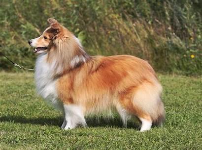 Sheltie Dog Fluffy Breed Dogs Wallpapers Desktop