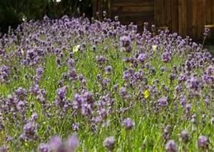 Pflege Von Lavendel : lavendel schneiden pflege lavandula angustifolia ~ Lizthompson.info Haus und Dekorationen