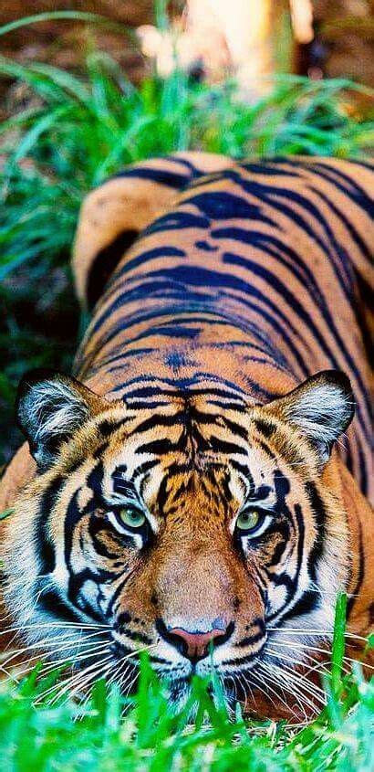 Eres Pensar Tigers Lions Animals Beautiful