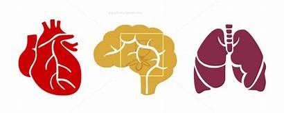 Lungs Heart Clipart Lung Brain Human Organs