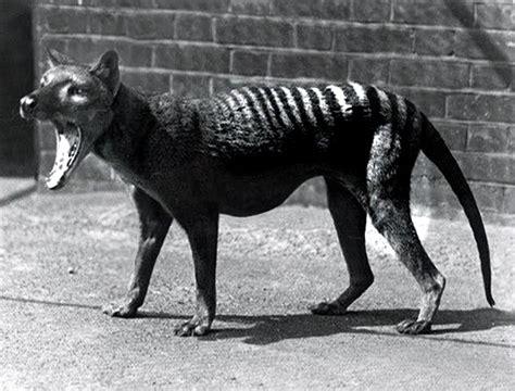 tasmanian tiger  youtube