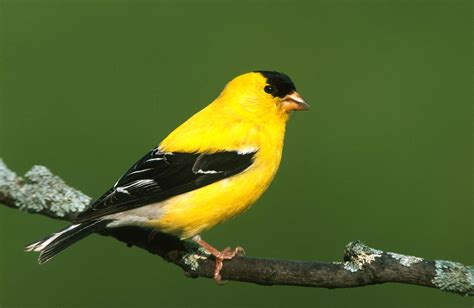 photography tip goldfinches naturally speaking