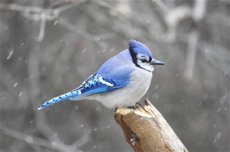 birds predict  weather duncrafts wild bird blog
