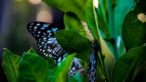 Perching, Blue, And, Black, Butterfly, Photo, U2013, Free, Butterfly