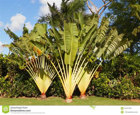 planting fan palm trees tropical plants trees foliage stock photo image 44137465