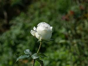 White Roseshttp://my143rose.blogspot.com/