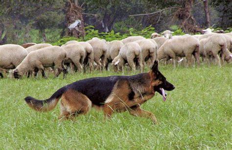 deutscher schaeferhund stockhaar vdh rasselexikon