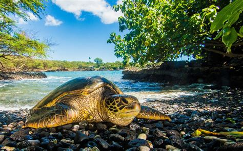 sea turtle mother fcmp  animals background wallpapers