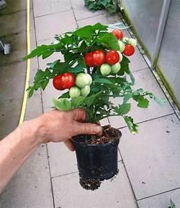 Kräuter Pflanzen Topf : topf tomaten pflanze 39 sturdy jo 39 f1 tomaten bei baldur ~ Lizthompson.info Haus und Dekorationen