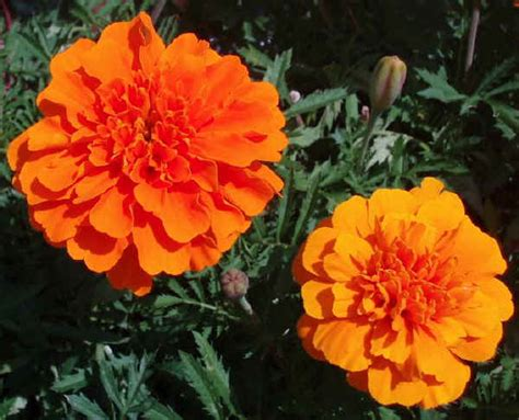 pianta fiori arancioni piante da vaso tagetes tagete tagetes erecta tagetes