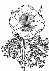 Poppy Coloring California Pages Eschscholzia Drawing Colorluna Colouring Sheets Popular sketch template