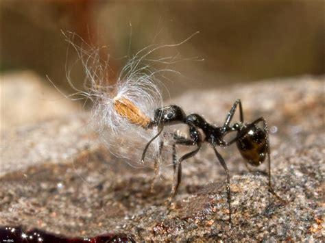 ameisen an pflanzen myrmekochorie
