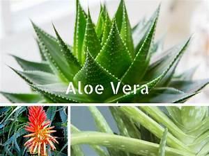 Plantes Pour Chambre : les plantes vertes depolluantes de la maison ~ Melissatoandfro.com Idées de Décoration