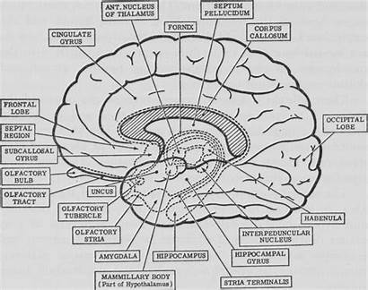 Brain Coloring Anatomy Pages Psychology Diagram Human