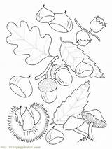 Coloring Oak Tree Fruit 800px 43kb sketch template