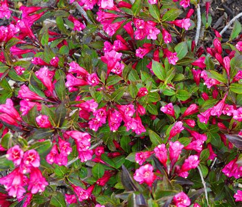 flowering hedges long flowering bushes flowering shrubs6 flowering bushes pinterest flowering bushes