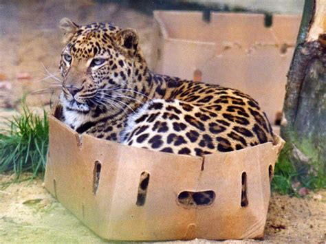 big cats and boxes these big cats boxes animalanswers co uk