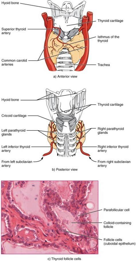 die physiologie des hormonsystems