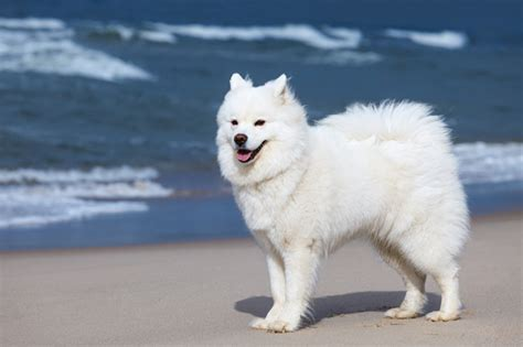 do samoyed puppies shed do samoyed dogs shed hair 100 images what time of year