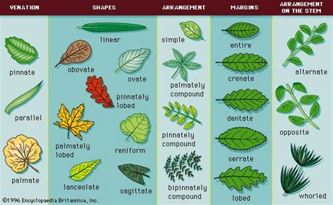 pinnately compound leaf botany britannicacom