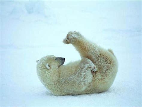 Funny Polar Bear Hd Wallpapers 18134