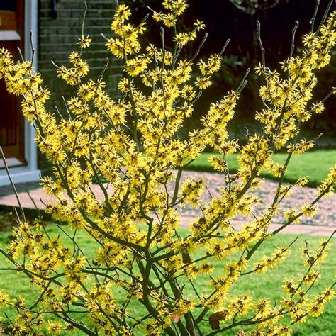 how to grow witch hazel top 28 flowers planets witch hazel plant flowering american witch hazel medicinal plant