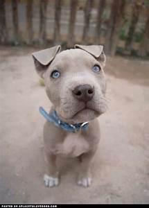 Pitbull puppy with blue eyes | Beautiful Bullys | Pinterest