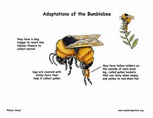 Adaptations of the Bumblebee