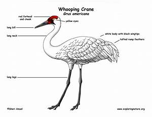 Whooping Crane Labeling Page