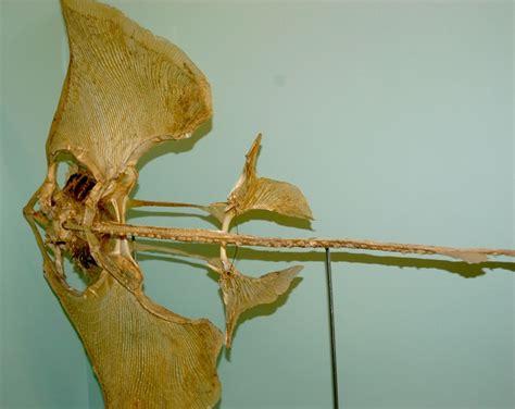 stingray skeleton cartilage stingrays animals skeletons