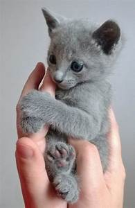 A Russian Blue kitten at 8 weeks. | Cute Animal Overload ...
