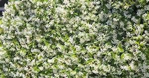 Jasmin Pflanze Winterhart : jasminum officinale der echte jasmin mein sch ner garten ~ Frokenaadalensverden.com Haus und Dekorationen
