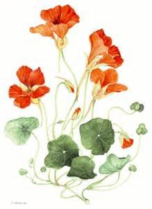 Nasturtium Vegetable Garden