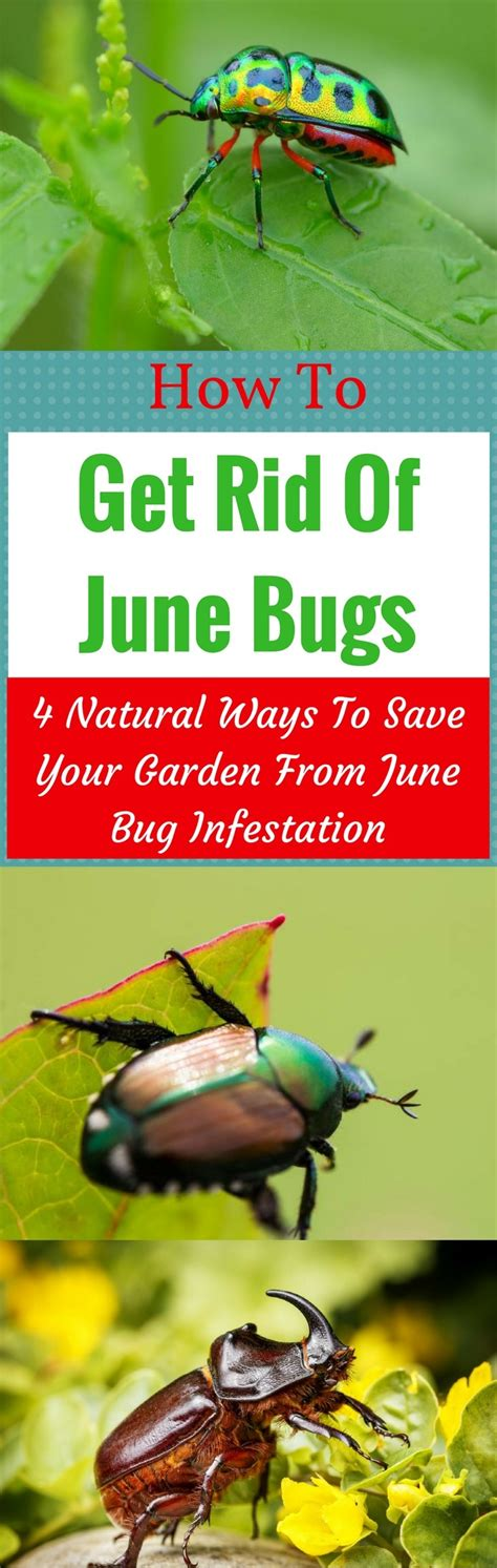 how to get rid of june beetles how to get rid of june bugs 4 natural ways to save your garden from june bug infestation