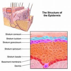 Epithelium  U2014 Functions And Types Of Epithelial Tissue