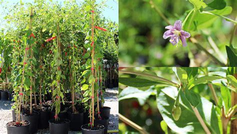 pianta di goji in vaso piante di goji in vaso disponibili