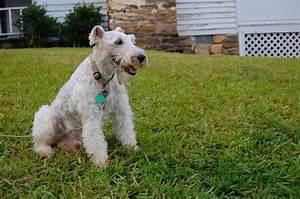 Fox Terrier Pêlo Duro – Raças Caninas - Raças de Cachorros ...