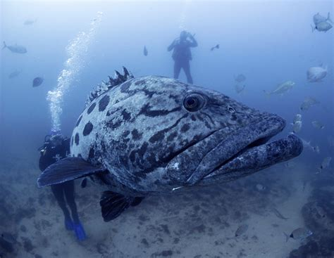 grouper bus diving close groupers seabass largest earth