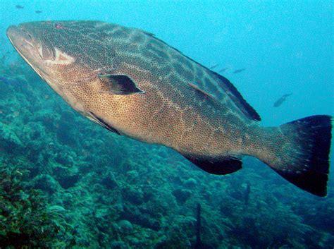 grouper bahamas nassau reefs location tropical bonaci mycteroperca reefguide caribbean