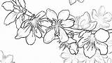Cherry Blossom Coloring Tree Pages Wonderful Printable Getcolorings Blo sketch template