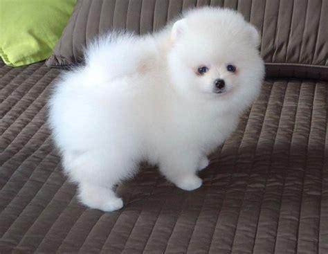 Pomeranian Experts – Everything About Pomeranians!