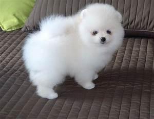 White Toy Pomeranian Puppies Uk - 4k Wallpapers