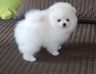 White Teacup Pomeranian Puppies Sale