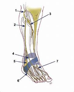 Branches Du Nerf Fibulaire Commun   1  Nerf Fibulaire