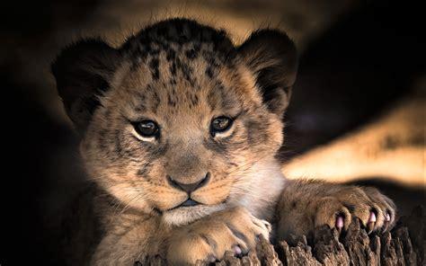 wallpaper  baby animal cub cute lion background hd